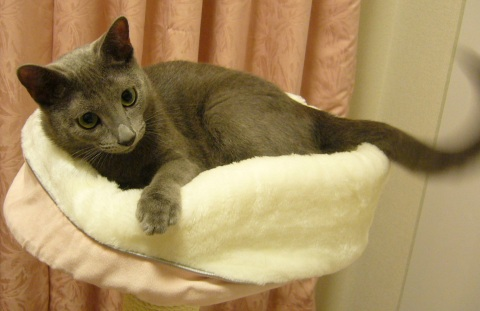 Picture of Russian Blue kitten Andy lying down